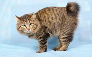 Курильский бобтейл кошка фото