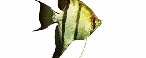 Породы аквариумных рыбок