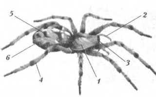 Строение паука схема