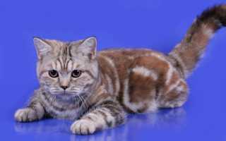 Черепаховый окрас кошек фото