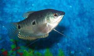Аквариумные рыбки гурами совместимость