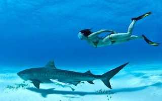 Скорость большой белой акулы