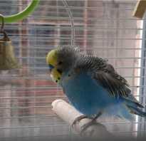 Почему попугай дрожит крыльями