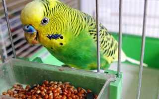 Чем накормить попугая