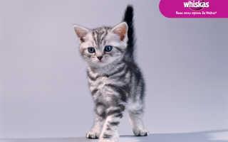 Окрас вискас у шотландских кошек фото