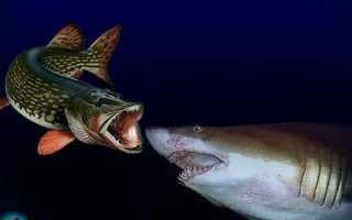 Акула может жить в пресной воде