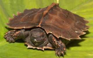 Черепаха с длинным носом