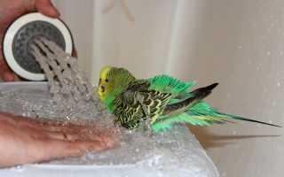 Нужно ли купать попугая