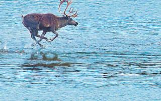 Как сохранить северного оленя