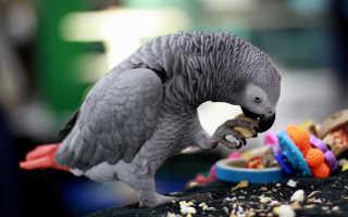 Попугай жако уход содержание питание