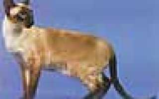 Окрас сиамских кошек как называется