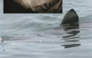 Чем питается исполинская акула