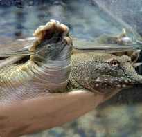 Китайские трехкилевые черепахи содержание