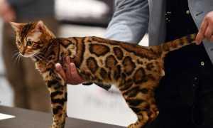 Порода кошек леопардового окраса как называется