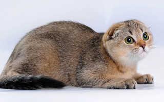 Окрас шиншилла у шотландских кошек