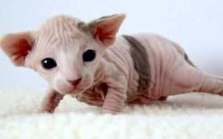 Порода лысого кота
