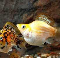 Пецилия аквариумная рыбка фото