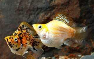 Аквариумные рыбки пецилии фото и описание