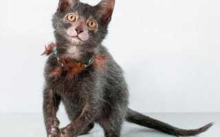 Кошка похожая на летучую мышь