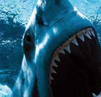 Белая акула и человек