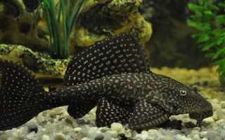 Сом ест рыбок в аквариуме