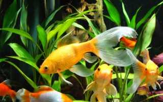 Комета рыбка аквариумная совместимость