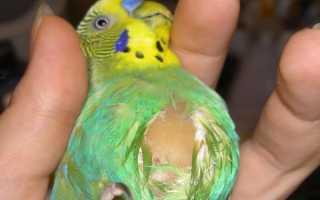 Забился зоб у попугая