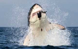 Большая белая акула вес