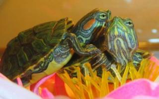 Красноухая черепаха в домашних условиях размножение
