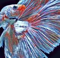 Пучеглазие у золотой рыбки лечение