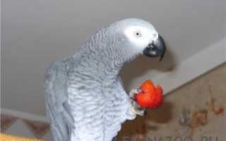 Разговаривают ли попугаи девочки