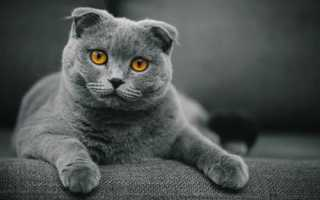 Разновидности шотландских кошек