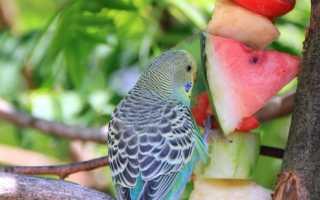 Что давать волнистому попугаю кушать
