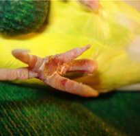 Не работает лапка у попугая ростов