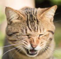Кот часто чихает причины
