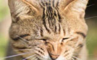 Почему мой кот чихает