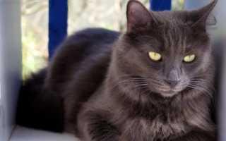 Котята породы нибелунг