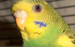 Как понять что попугай ослеп