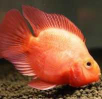 Красный попугай рыба болезни