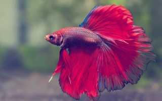 Петушок тропическая рыба