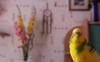 Почему волнистый попугай поносит