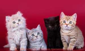 Как называются окрасы кошек