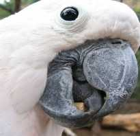 Говорящий попугай породы и цены