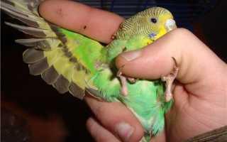 Почему умирают попугайчики