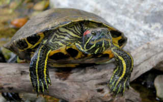 Что надо для черепахи красноухой