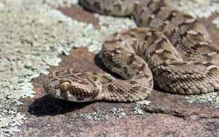 Пустынные змеи фото