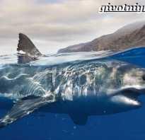Где водятся белые акулы