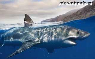 Белая акула кархародон места обитания