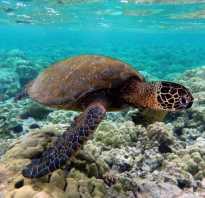 Википедия морские черепахи