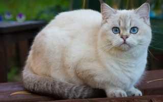 Вязка шотландской кошки с британским котом